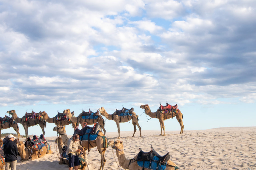 Things to do in Port Stephens : camel  rides