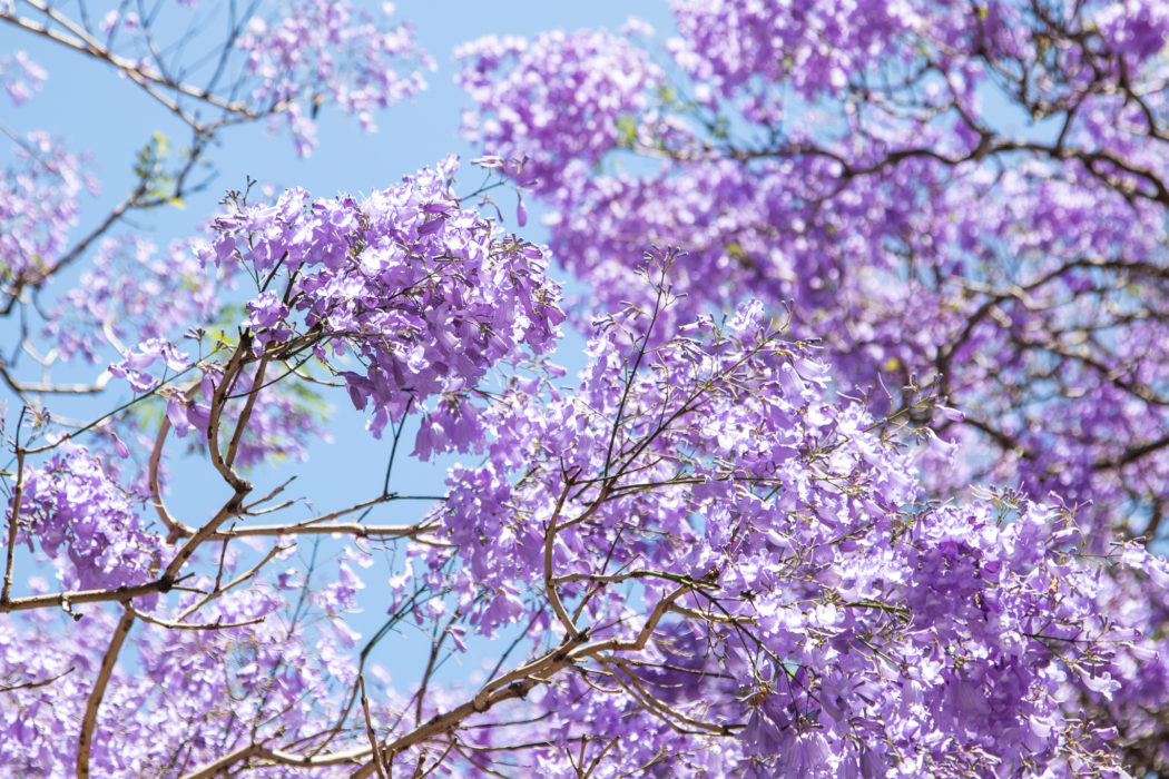 Where to Find Jacarandas in Sydney