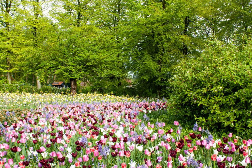 tulip fields in the netherlands: Keukenhof