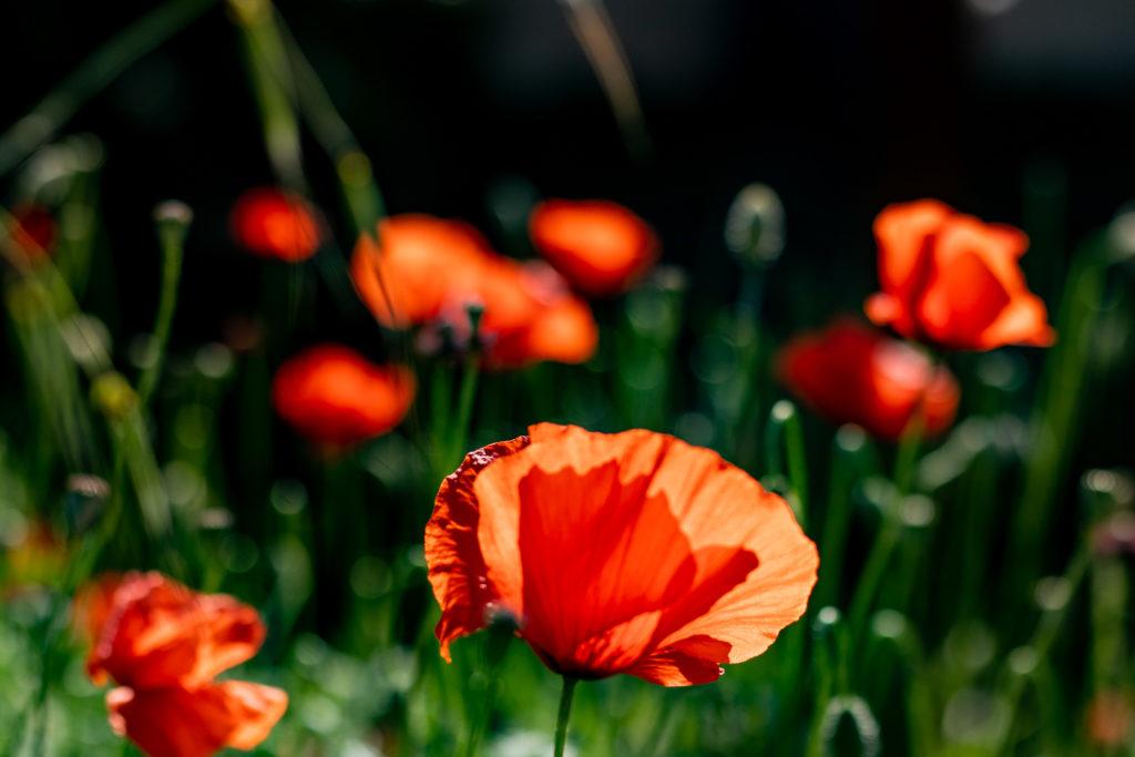 tuscany travel guide: poppy fields in Tuscany Italy