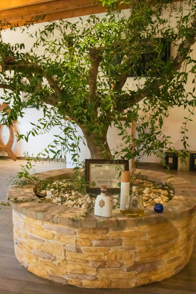 Corfu Greece Travel Guide: Olive tree at oilive oil tasting